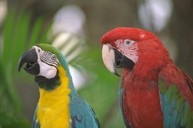 приручить дикого попугая