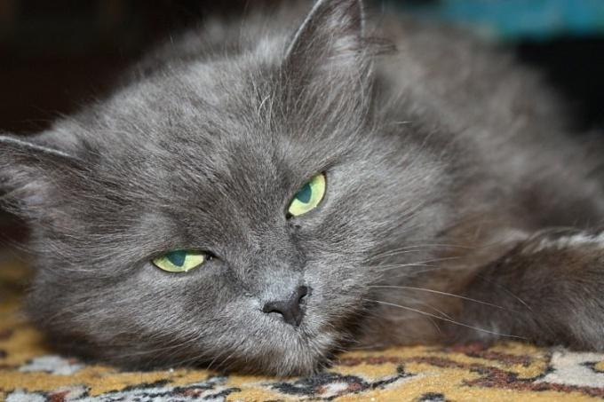 что вибрирует у кота