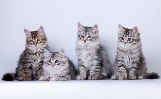 Как выбрать котенка сибирской кошки