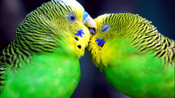 попугай салатовый с хохолком