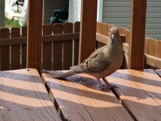 Как выпустить голубя
