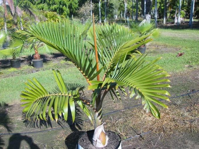 Как вырастить пальму из семени