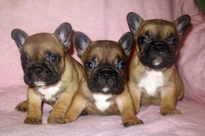 Как выбрать щенка французского бульдога
