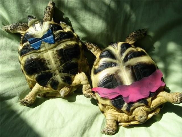 Как узнать пол сухопутной черепахи
