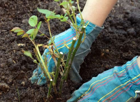 Как высаживать розу