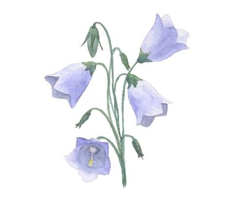Как нарисовать цветок колокольчик