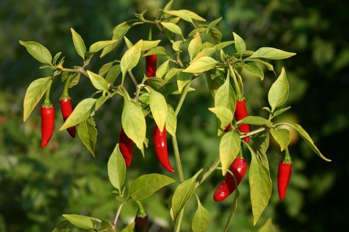 Как вырастить горький перец