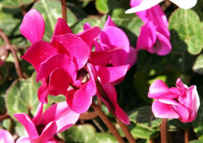 Как посадить семена цикламена