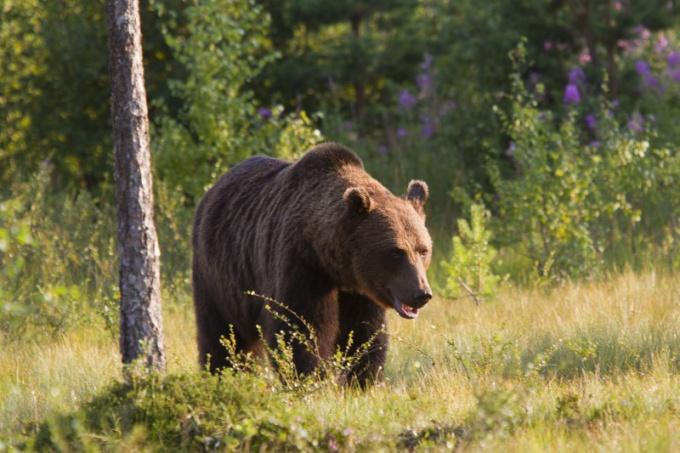 зачем медведь сосет лапу
