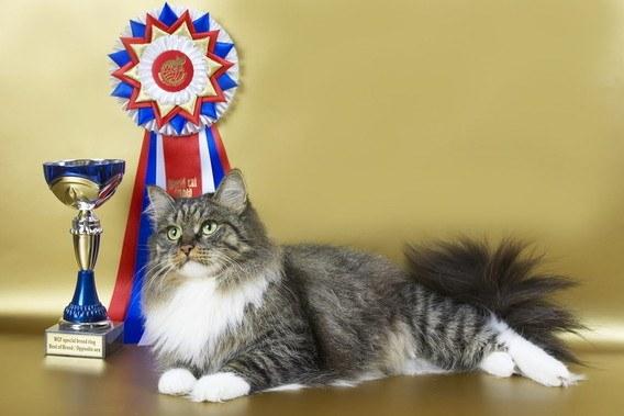 подготовить сибирскую кошку к выставке