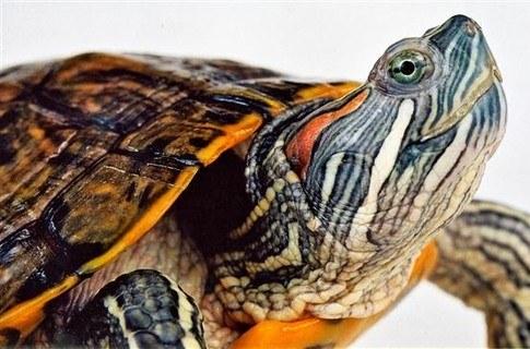 как ухаживать за морскими красноухими черепахами?