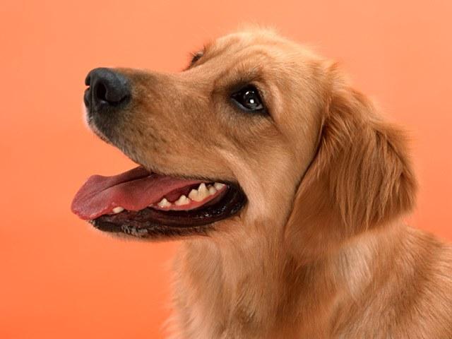 как собаке дать таблетку от глистов