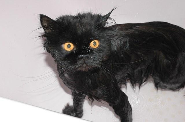 Как вымыть кота