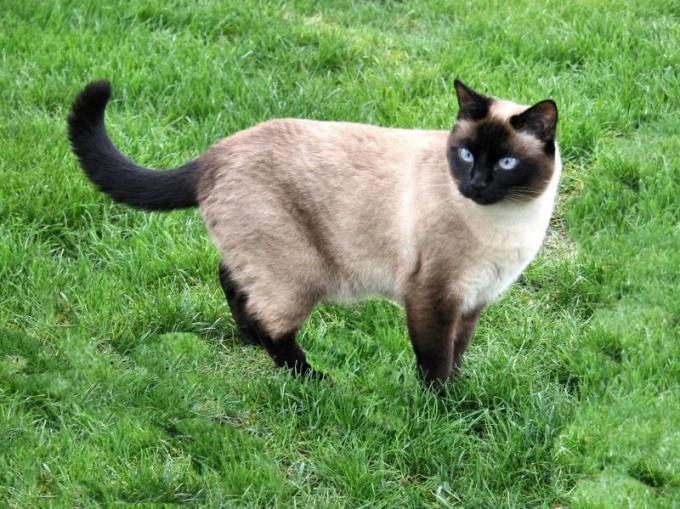 как выбрать тайскую кошку