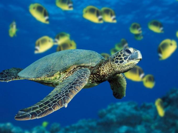 как кормить морских черепашек