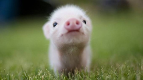 How to name a pig