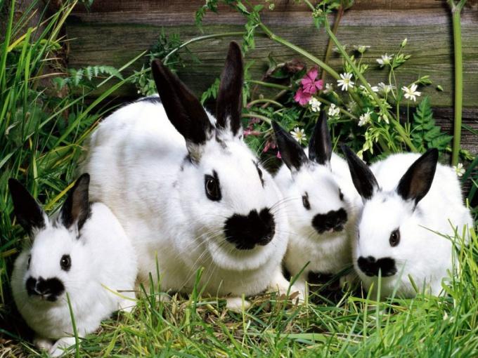как делапть прививку кроликов