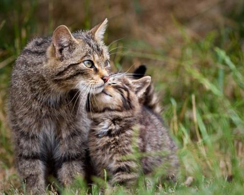 Как приручить дикую кошку