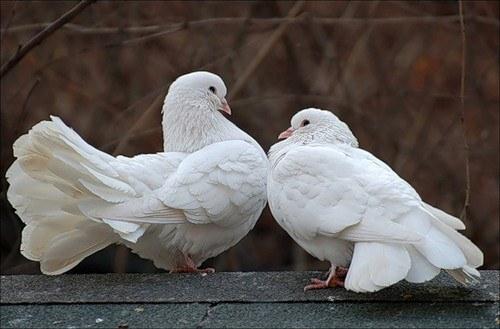 как купить голубей