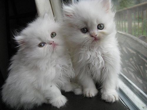 уход за пирсидским котенком