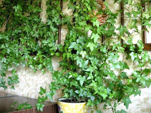 How to grow ivy