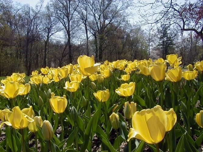 Как выращивать желтые тюльпаны
