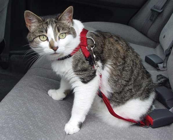 как поавильно перевозить кошку в машине