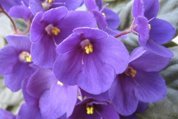 Что делать для выращивания цветов фиалок из семян