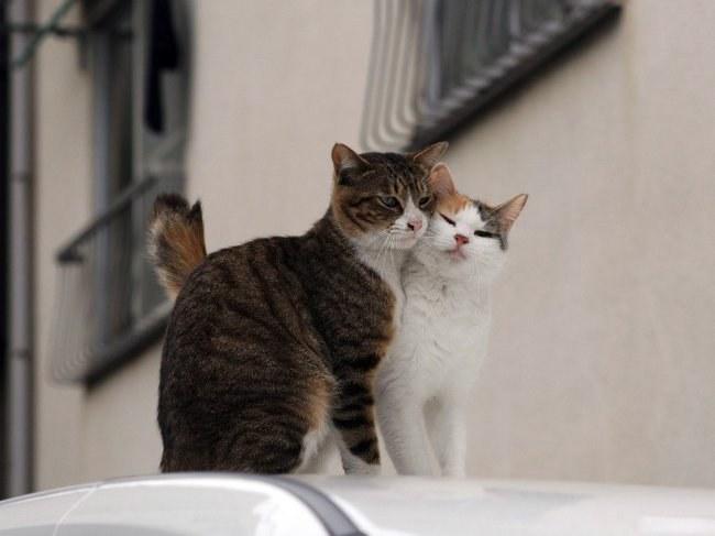 зачатие у кошек