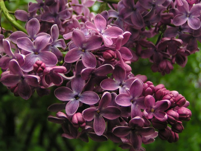 Why not lilac blooms