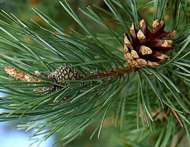 How to trim pine tree