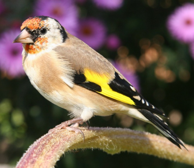 How to feed goldfinches
