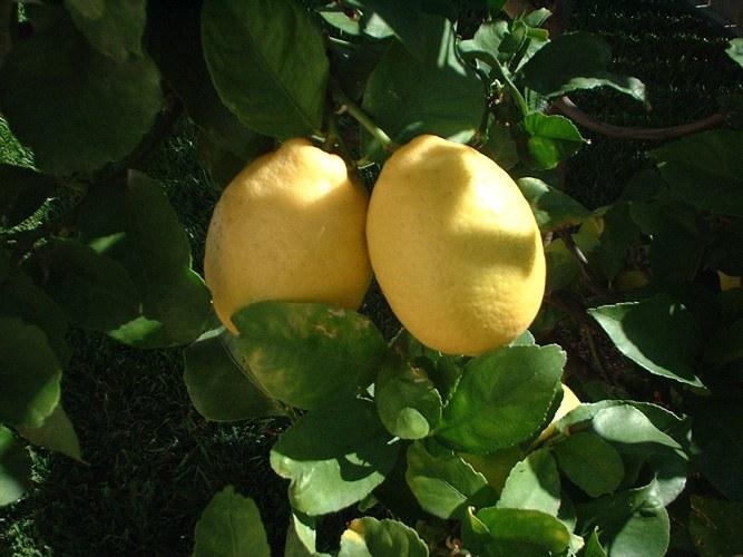 Why do lemon the leaves fall