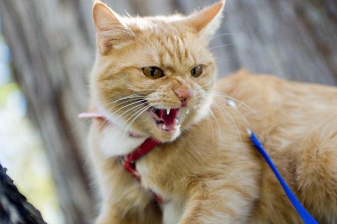 висит язык у кошки