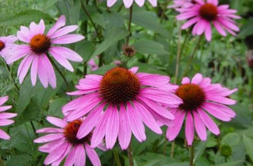How to make Echinacea