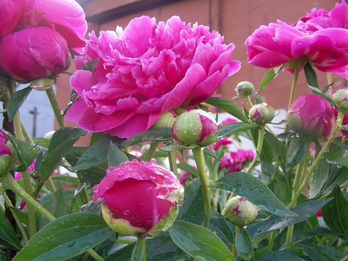 How to drink tincture of a peony
