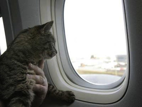 How to transport a cat in a plane