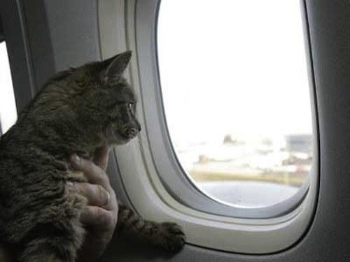 провести кота самолетом