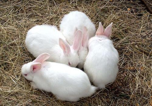 как определить сукрольность крольчихи