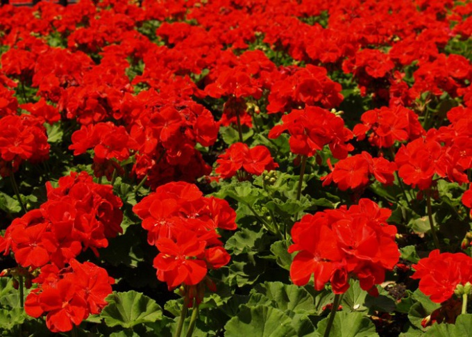 How to grow a potted geranium