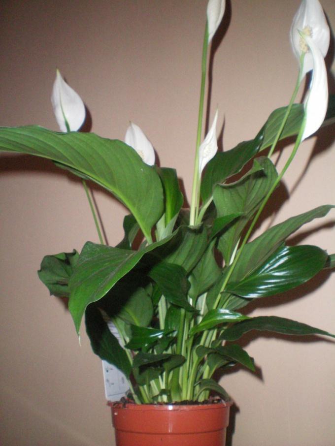 Цветы которые желательно иметь дома