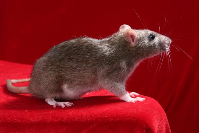 что делать если у крысы температура?