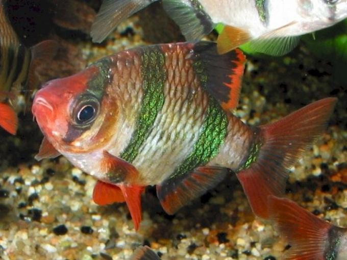 аквариумные рыбки выпрыгивают из воды