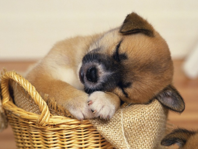 щенок паносит