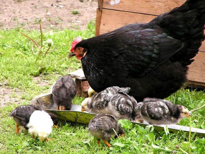 курица несущая яйцо как называется