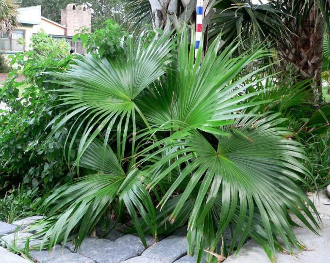 Как нужно ухаживать за комнатной пальмой