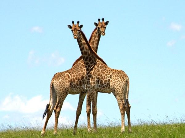 у жирафа длинная шея