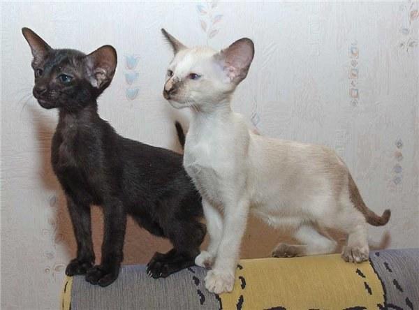 Как ухаживать за ориентальной кошкой