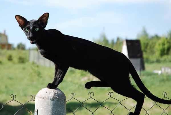 как отличить ориентальную кошку от других