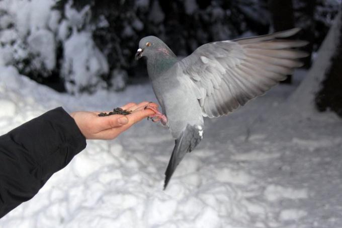 голубь двигается шажками